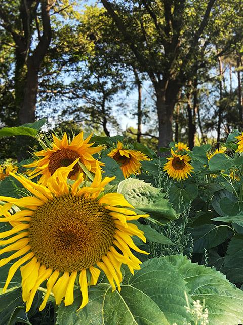 Zonnebloemen in het Beuninger Achterveld